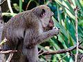 Monyet (Macaca fascicularis).jpg
