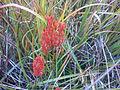 Moorlilie (Blume des Jahres 2011).JPG