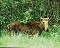 Moose (5062235005).jpg