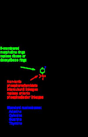 Morpholino - Segment of a Morpholino-RNA heteroduplex, 8-mer shown