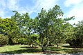 Morus sp. - Fruit and Spice Park - Homestead, Florida - DSC08864.jpg