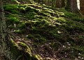 Moss on slope into Gullmarsskogen ravine 2.jpg