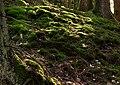 Moss on slope into Gullmarsskogen ravine 2.jpg