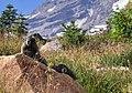 Mount Rainier - September 2017 - Hoary marmots 32 (cropped).jpg