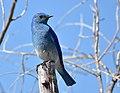 Mountain bluebird on Seedskadee National Wildlife Refuge (34370657913).jpg