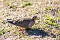 Mourning dove (32852044260).jpg