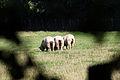 Moutons bleus du Maine, Écomusée du pays de Rennes, France.jpg