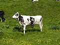 Mucca sul Monte Altissimo 01.jpg