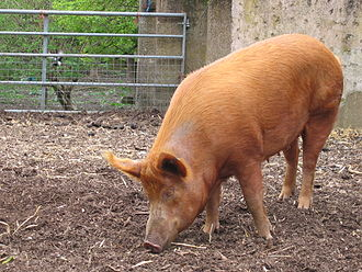 Rare breed (agriculture) - Image: Mudchute farm pig side