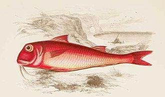 Mullus barbatus - Illustration of M. barbatus