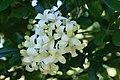 Murraya paniculata flowers2.JPG