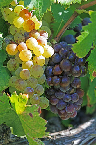 Muscat (grape) - Muscat blanc à Petits Grains and Muscat noir showing the white and black-skinned color mutation of the variety