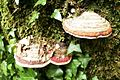 Mushrooms on tree.jpg