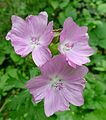 Musk Mallow. ^ Malva maschata - Flickr - gailhampshire.jpg
