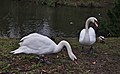 Mute swans and ducks in front of etang Tenreuken, Auderghem, Belgium (DSCF2954).jpg