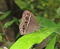 Mycalesis mineus – Dark-branded Bushbrown 04.jpg