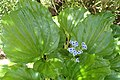 Myosotidium hortensia kz04.jpg
