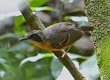 Myrmoborus myotherinus - Black-faced antbird female 01.jpg