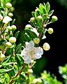 Myrtus communis subsp. tarentina001.JPG