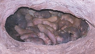 Naked mole-rat - Captive naked mole-rats huddling together
