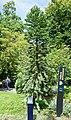 Nantes - Jardin des Plantes - Pin de Wollemi - 04 crop.jpg