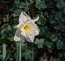 Narcissus 'Ice Follies' 01.jpg
