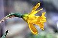 Narcissus muñozii-garmendiae RJB2.jpg