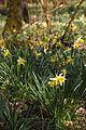 Narcissus pseudonarcissus (Narcisse jaune) - W.Sandras.jpg