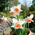 Narcissus sp. 2 - geograph.org.uk - 1805015.jpg