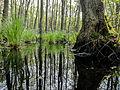 Nationalpark Vorpommersche Boddenlandschaft Darßer Urwald 2 DE-MV.jpg