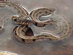 Жълтоуха водна змия (Natrix natrix)