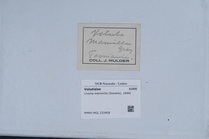 File:Naturalis Biodiversity Center - RMNH.MOL.233458 1 - Livonia mammilla (Sowerby, 1844) - Volutidae - Mollusc shell.jpeg