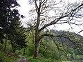 Naturdenkmal Grosse Kentheimer Eiche, Der Umfang ist ca. 3 Meter und das Alter ist ca. 240 Jahre - panoramio.jpg