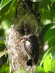 A female Seychelles Sunbird with arachnid prey attending its nest.