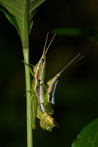 Pyrgomorphidae - Neorthacris simulans at Kadavoor, Kerala, India