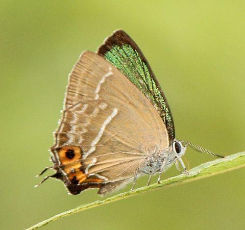 Neozephyrus japonicus male.JPG