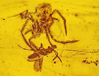 Evolution of spiders - Image: Nephila burmanica attacking Cascoscelio incassa in Burmese amber