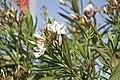 Nerium oleander-2679.jpg