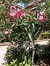 Nerium oleander - πικροδάφνη 03.jpg
