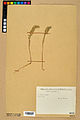 Neuchâtel Herbarium - Alyssum alyssoides - NEU000021955.jpg