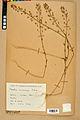Neuchâtel Herbarium - Camelina microcarpa - NEU000022963.jpg