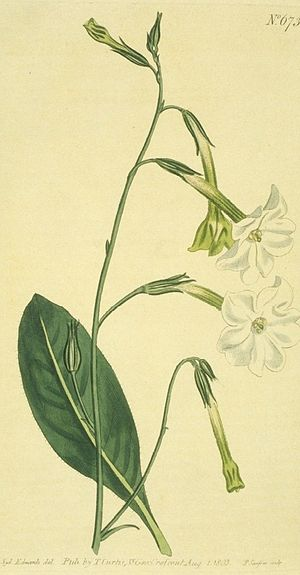 Pituri - Nicotiana suaveolens, sometimes used in central Australia as the active ingredient in pituri.