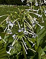 Nicotiana sylvestris, jardín botánico de Tallinn, Estonia, 2012-08-13, DD 01.JPG
