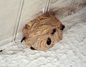 English: A hornet's nest with the hornets is b...
