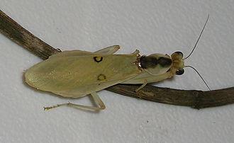 Flower mantis - Image: Nigerian Flower Mantis