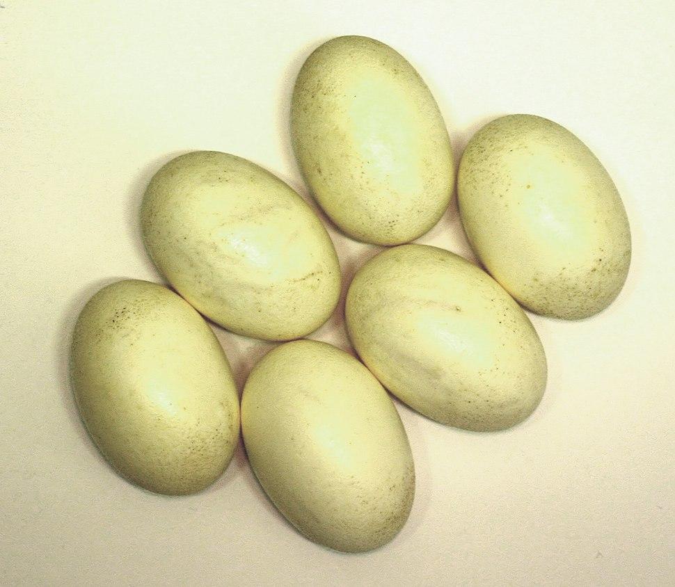 Nile crocodile eggs