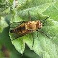 Noordwijk - Gewone viltvlieg (Thereva nobilitata) JIHI 028.jpg