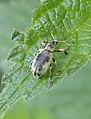 Noordwijk - Groene bladsnuitkever (Phyllobius pomaceus) v2.jpg