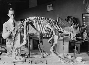 Brachyceratops - Norman Ross completing the Smithsonian mount