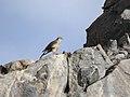 Northern Goshawk (Accipiter gentilis) (45336818675).jpg